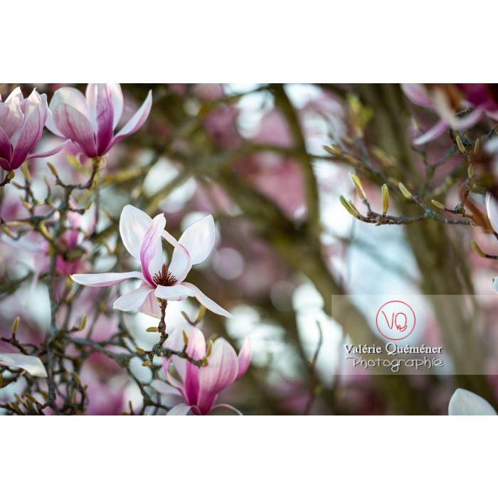 Fleur rose de magnolia épanouie - Réf : VQF&J-9661 (Q3)