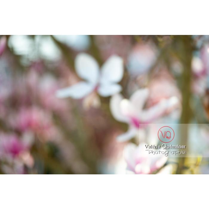 Fleurs de magnolia floues - Réf : VQF&J-9662 (Q3)