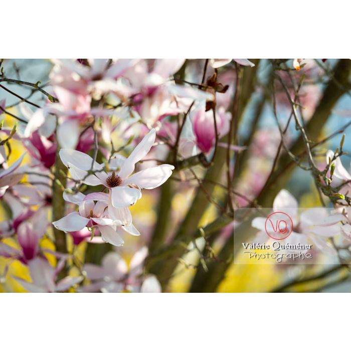 Fleurs roses de magnolia épanouies - Réf : VQF&J-9664 (Q3)