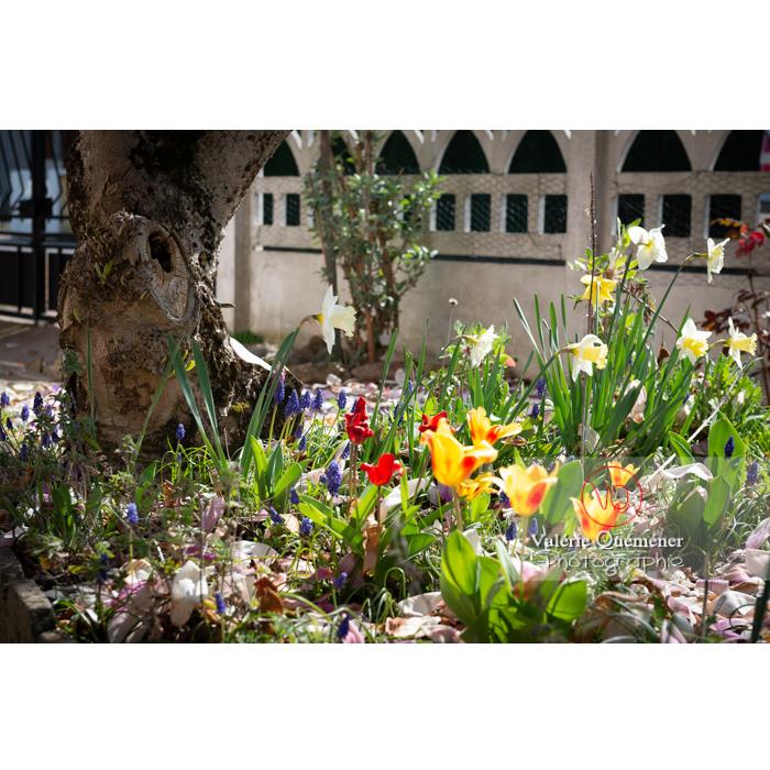 Parterre de tulipe, muscari et fleurs de narcisse (narcissus sp) - Réf : VQF&J-9669 (Q3)
