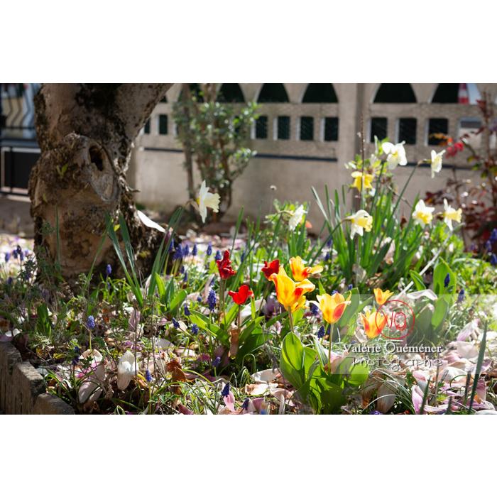 Tulipes jaunes et rouge dans un parterre - Réf : VQF&J-9670 (Q3)