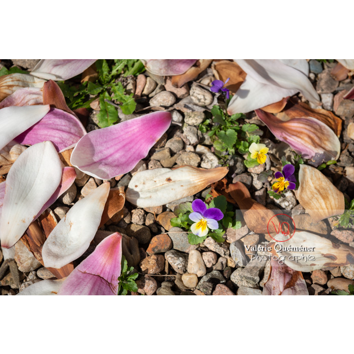 Pensées sauvages (viola tricolor) et pétales de magnolia sur le gravier - Réf : VQF&J-9673 (Q3)