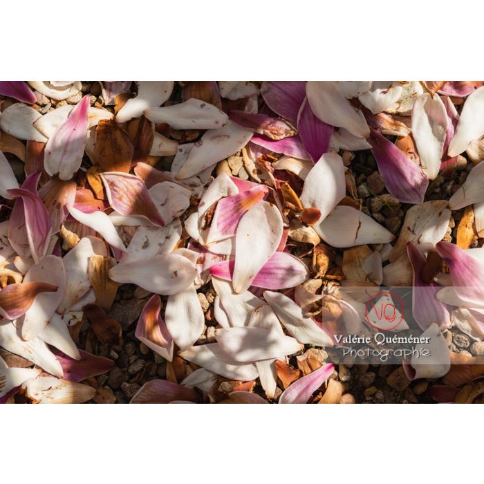 Pétales fanées de fleurs roses de magnolia tombées au sol- Réf : VQF&J-9674 (Q3)