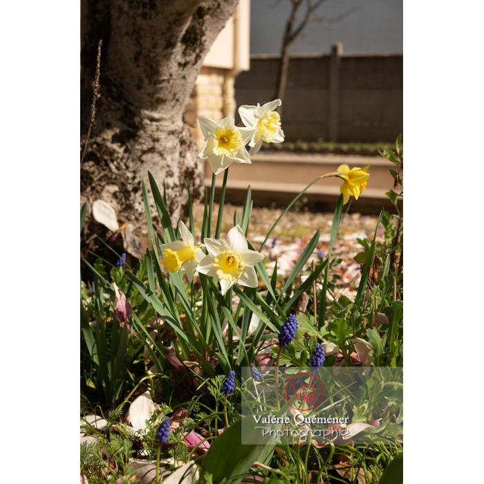 Fleurs de narcisse trompette (narcissus sp) - Réf : VQF&J-9675 (Q3)