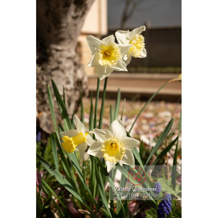 Fleurs de narcisse trompette (narcissus sp) - Réf : VQF&J-9676 (Q3)