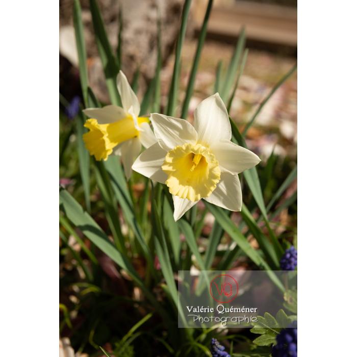 Fleurs de narcisse trompette (narcissus sp) - Réf : VQF&J-9677 (Q3)
