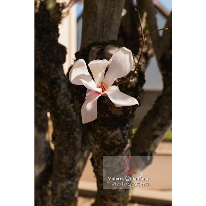 Fleur rose poussant sur le tronc d'un magnolia - Réf : VQF&J-9679 (Q3)