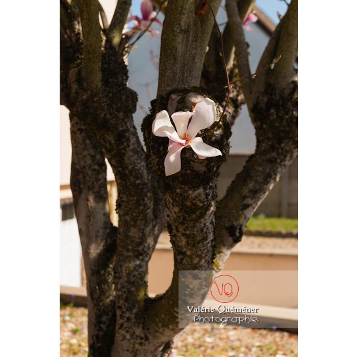 Fleur poussant sur le tronc d'un magnolia - Réf : VQF&J-9680 (Q3)