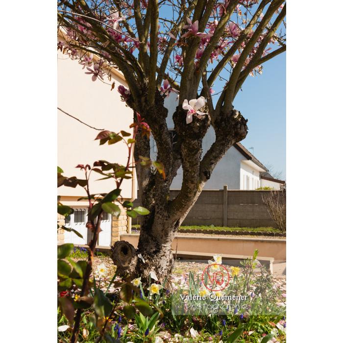 Magnolia en fleurs dans un jardin- Réf : VQF&J-9681 (Q3)