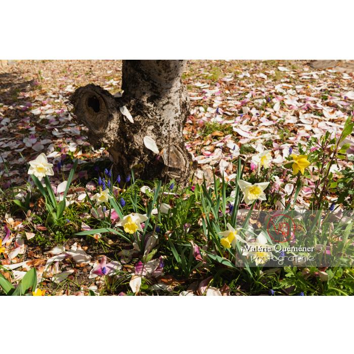 Parterre de muscari et fleurs de narcisse (narcissus sp) - Réf : VQF&J-9685 (Q3)