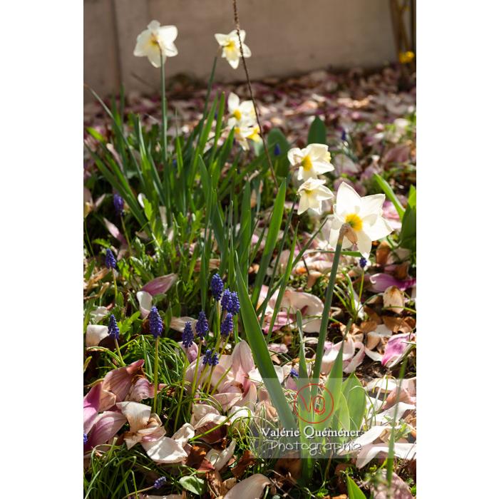 Parterre de muscari et fleurs de narcisse (narcissus sp) - Réf : VQF&J-9716 (Q3)