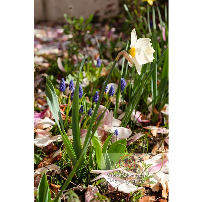 Fleurs de narcisse trompette (narcissus sp) - Réf : VQF&J-9719 (Q3)