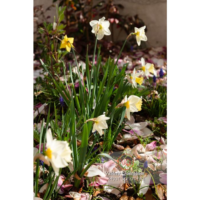 Parterre de muscari et fleurs de narcisse (narcissus sp) - Réf : VQF&J-9720 (Q3)