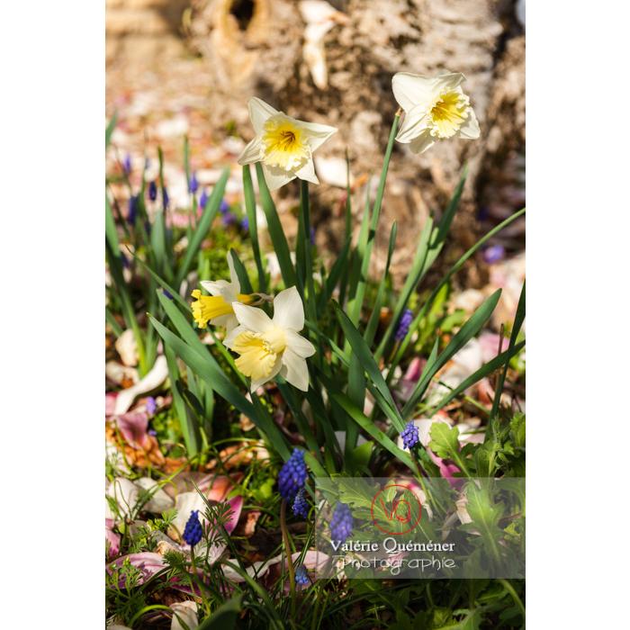 Fleurs de narcisse trompette (narcissus sp) - Réf : VQF&J-9723 (Q3)