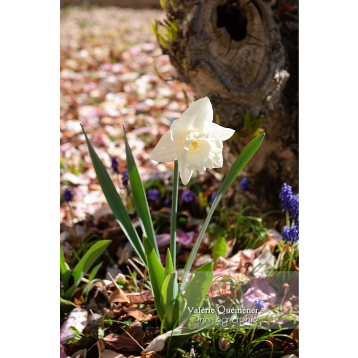 Fleur de narcisse trompette (narcissus sp) - Réf : VQF&J-9737 (Q3)