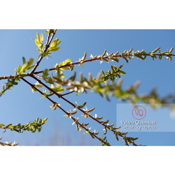 Bourgeons de saule maculé ou saule crevette au printemps (salix integra) - Réf : VQF&J-9787 (Q3)