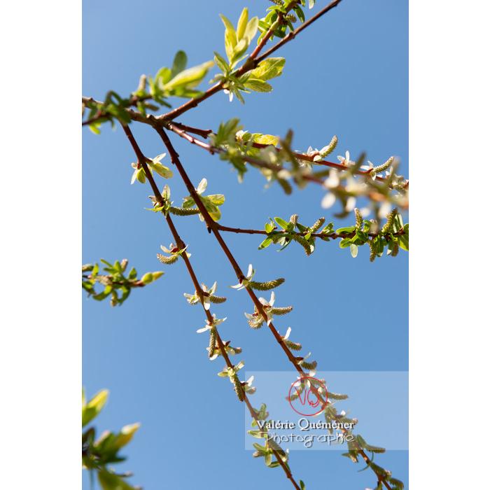 Bourgeons de saule maculé ou saule crevette au printemps (salix integra) - Réf : VQF&J-9789 (Q3)