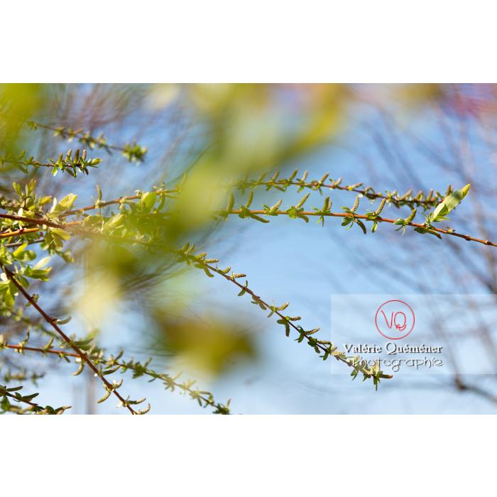 Bourgeons de saule maculé ou saule crevette au printemps (salix integra) - Réf : VQF&J-9790 (Q3)