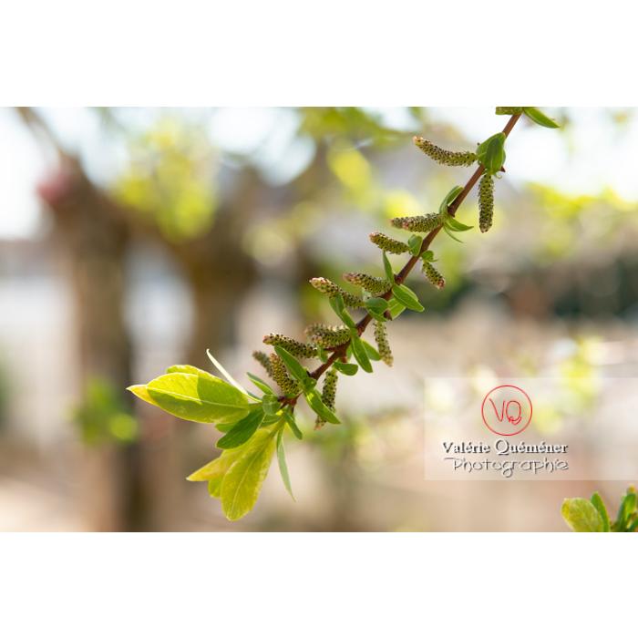 Bourgeons de saule maculé ou saule crevette au printemps (salix integra) - Réf : VQF&J-9794 (Q3)
