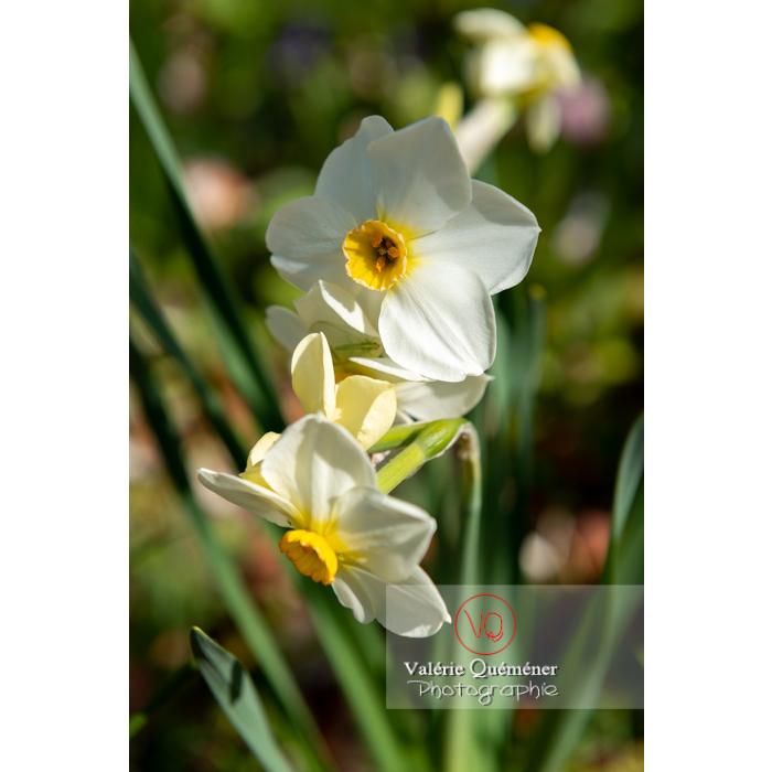 Fleurs de narcisse (narcissus tazetta) - Réf : VQF&J-9798 (Q3)