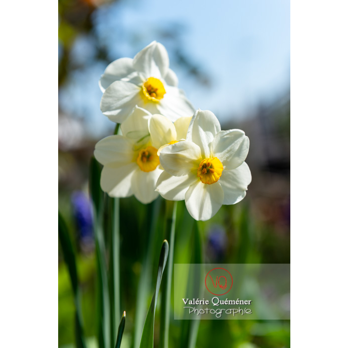 Fleurs de narcisse (narcissus tazetta) - Réf : VQF&J-9799 (Q3)