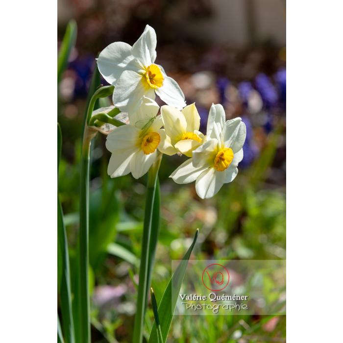 Fleurs de narcisse (narcissus tazetta) - Réf : VQF&J-9801 (Q3)