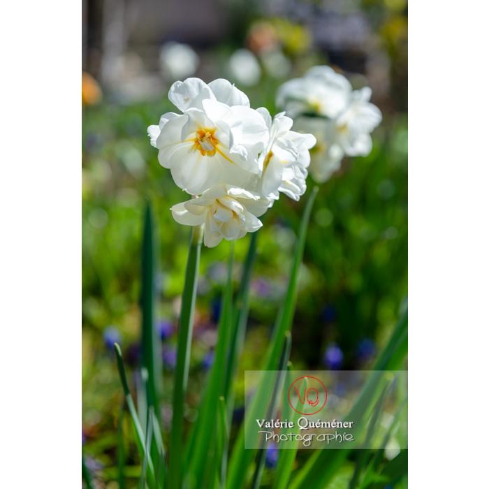 Fleurs de narcisse (narcissus tazetta) - Réf : VQF&J-9844 (Q3)