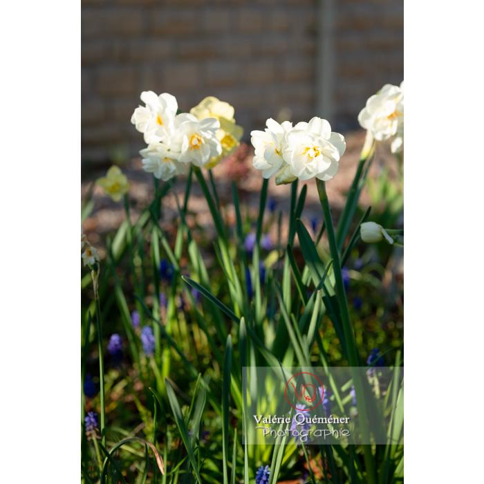 Fleurs double de narcisse (narcissus tazetta) - Réf : VQF&J-9900 (Q3)