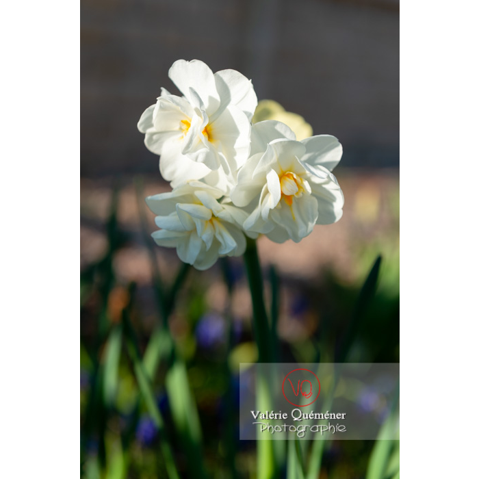Fleurs double de narcisse (narcissus tazetta) - Réf : VQF&J-9901 (Q3)