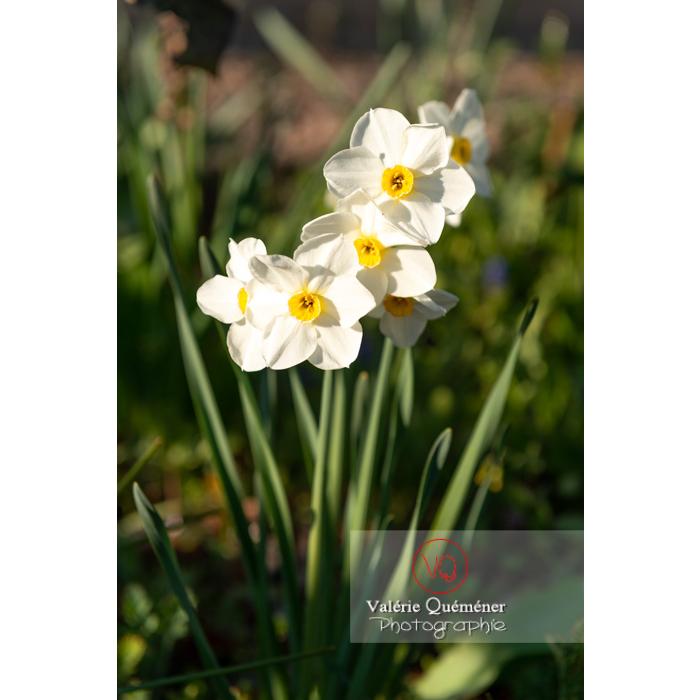 Fleurs de narcisse (narcissus tazetta) - Réf : VQF&J-9902 (Q3)