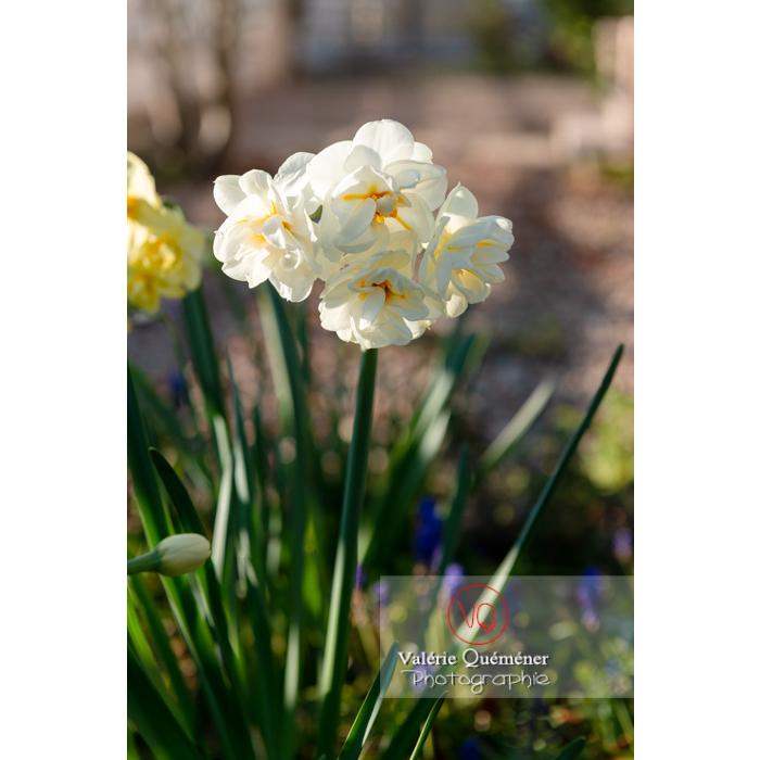 Fleurs double de narcisse (narcissus tazetta) - Réf : VQF&J-9903 (Q3)