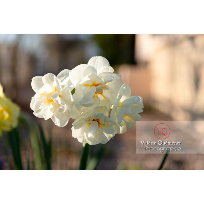 Fleurs double de narcisse (narcissus tazetta) - Réf : VQF&J-9904 (Q3)
