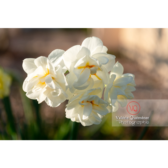 Fleurs double de narcisse (narcissus tazetta) - Réf : VQF&J-9905 (Q3)