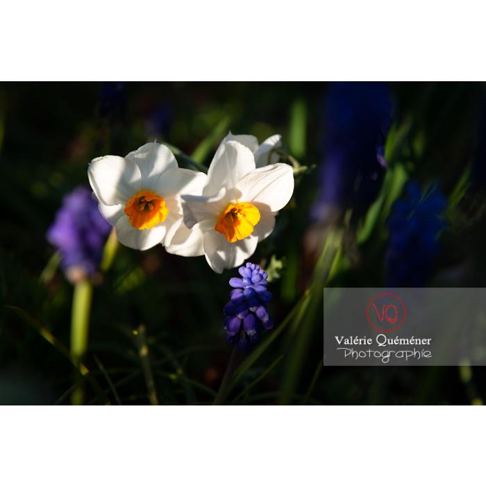 Fleurs de narcisse (narcissus tazetta) - Réf : VQF&J-9906 (Q3)