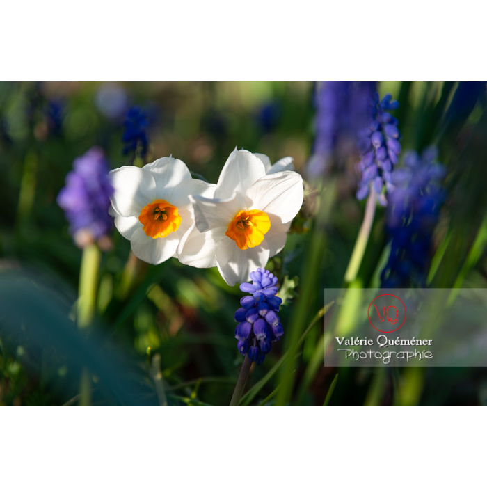 Fleurs de narcisse (narcissus tazetta) - Réf : VQF&J-9908 (Q3)