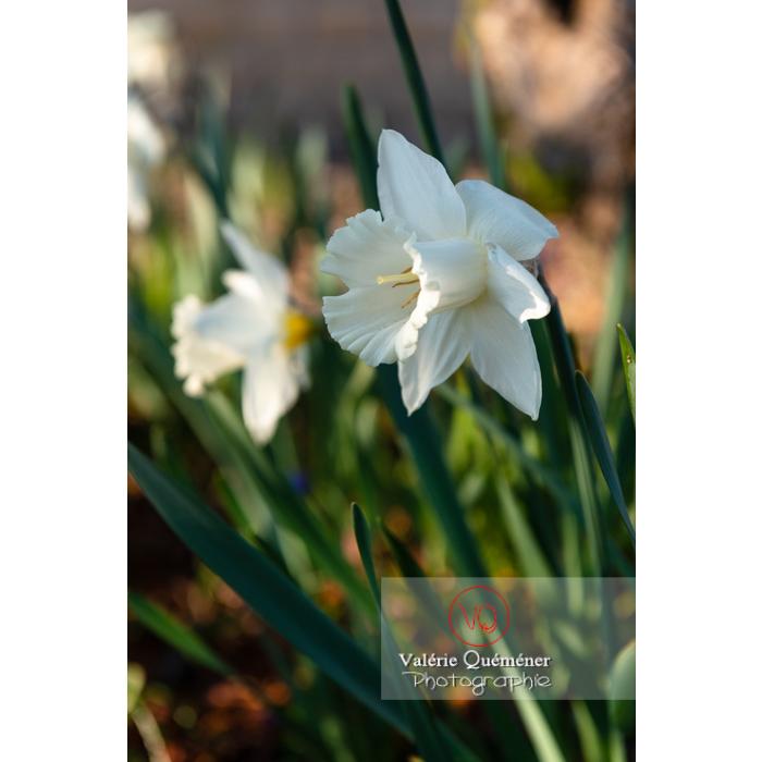 Fleurs de narcisse trompette (narcissus sp) - Réf : VQF&J-9909 (Q3)