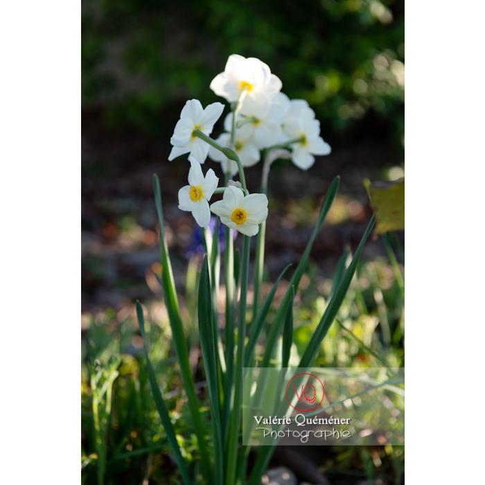 Fleurs de narcisse (narcissus tazetta) - Réf : VQF&J-9922 (Q3)