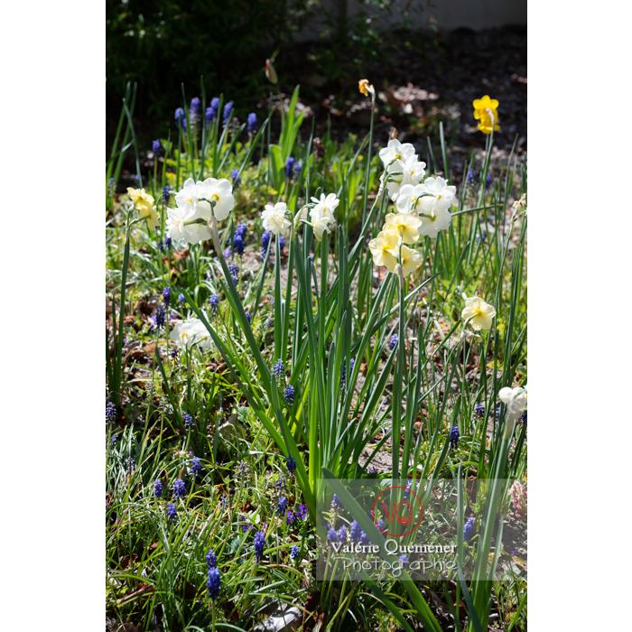 Parterre de muscari et fleurs de narcisse - Réf : VQF&J-9944 (Q3)
