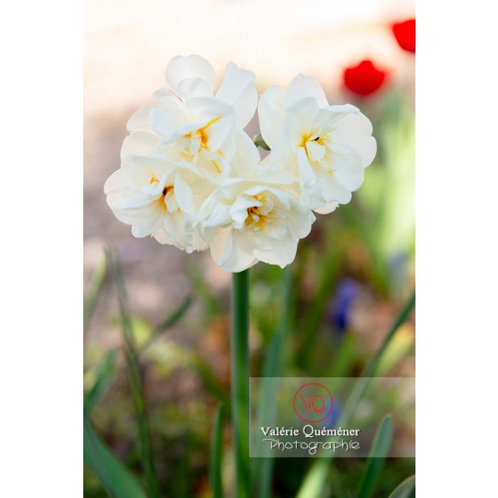 Fleurs double de narcisse (narcissus tazetta) - Réf : VQF&J-9967 (Q3)