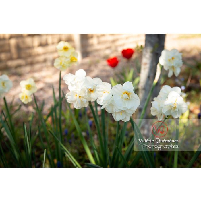 Fleurs double de narcisse (narcissus tazetta) - Réf : VQF&J-9971 (Q3)