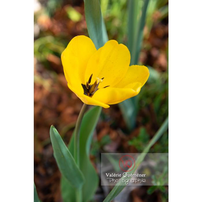 Tulipe jaune (tulipa sp) - Réf : VQF&J-9972 (Q3)