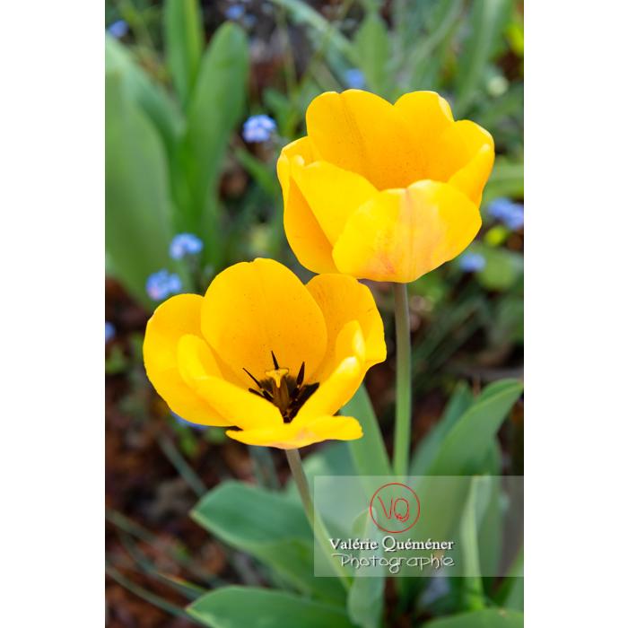 Tulipes jaunes (tulipa sp) - Réf : VQF&J-9974 (Q3)