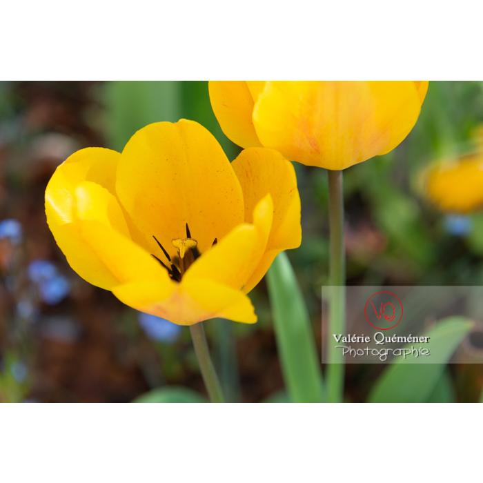 Tulipes jaunes (tulipa sp) - Réf : VQF&J-9976 (Q3)