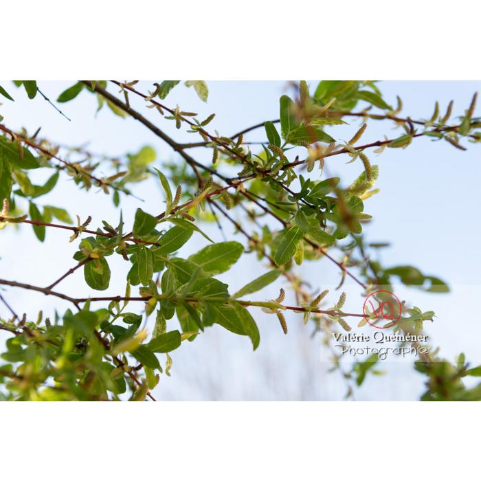 Bourgeons de saule maculé ou saule crevette au printemps (salix integra) - Réf : VQF&J-9979 (Q3)