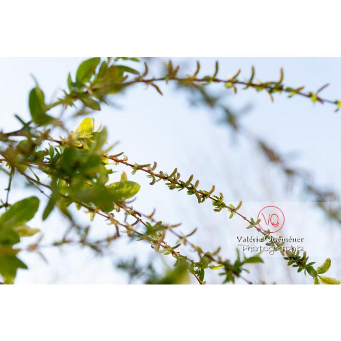 Bourgeons de saule maculé ou saule crevette au printemps (salix integra) - Réf : VQF&J-9982 (Q3)