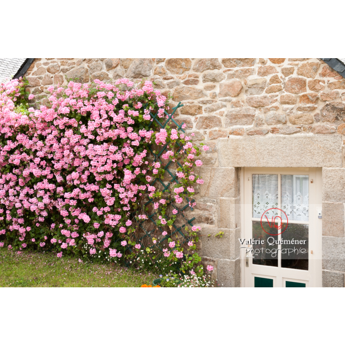 Rosier grimpant sur le mur en pierre d'une maison bretonne sur l'île de Bréhat / Côtes d'Armor / Bretagne - Réf : VQFR22-0387 (Q2)