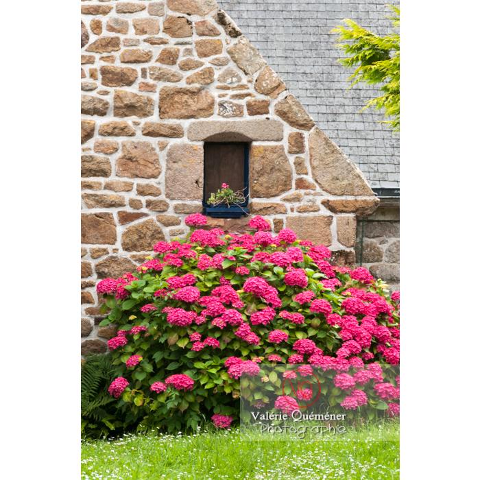 Massif d'hortensias roses devant la façade d'une maison en pierre sur l'île de Bréhat / Côtes d'Armor / Bretagne - Réf : VQFR22-0389 (Q2)