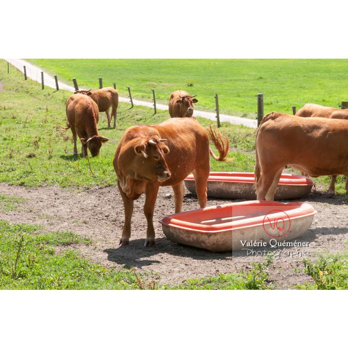 Vaches de l'île de Bréhat / Côtes d'Armor / Bretagne - Réf : VQFR22-0407 (Q2)