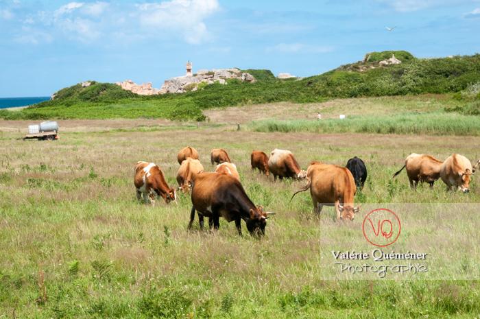 Vaches dans un champ sur l'île de Bréhat / Côtes d'Armor / Bretagne - Réf : VQFR22-0409 (Q2)