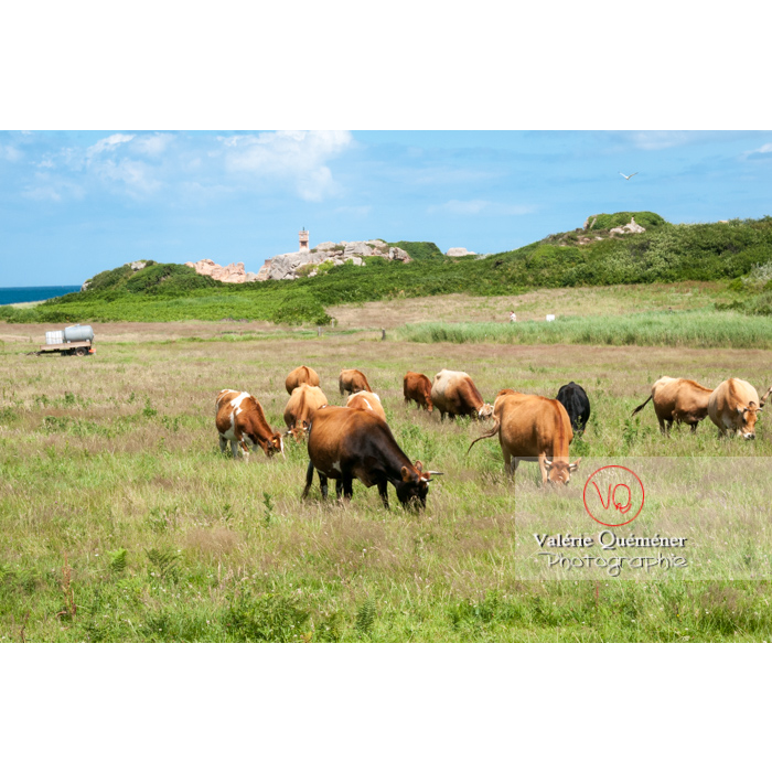 Vaches de l'île de Bréhat / Côtes d'Armor / Bretagne - Réf : VQFR22-0409 (Q2)